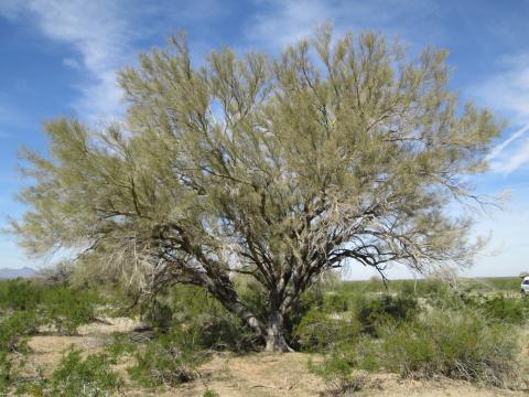 Native Tree