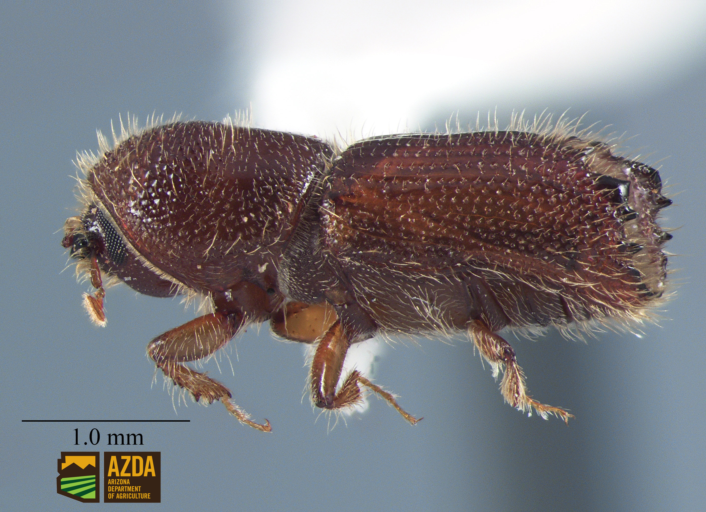 Orthotomicus erosus ENT18-1021 male lateral (1).jpg